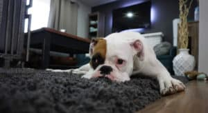 Dog Housebreaking Hints & Tips