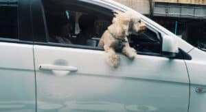 Dogs and Distracted Driving