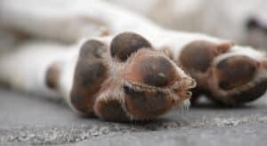 Photo of closeup of a dog's paw pad