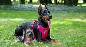 Photo of a Yorkshire Terrier & Doberman wearing dog harnesses