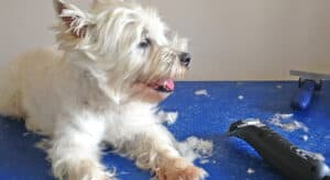 Photo of West Highland Terrier lying on a grooming table with a dog clippers and some lose dog hairs on the