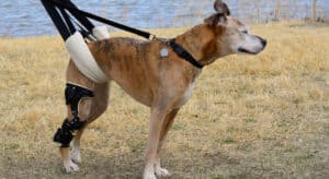 Dog wearing a dog lift harness