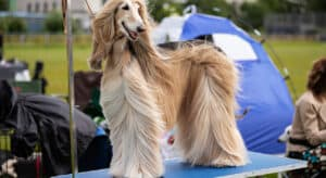 Photo of an aghan Hound standing on a Dog Grooming Table