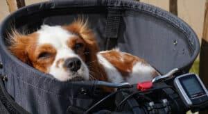 Photo of King Charles SPaneil lying half asleep in dog bike basket