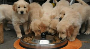 Photo of Golden Retriever Puppies eating from one big bowl