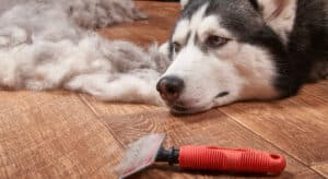 Photo of Husky lying beside a slicker brush with loose dogs hairs on the floor