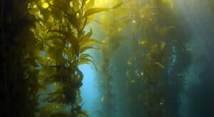 Photo of Kelp growing at sea, the new superfood for dogs