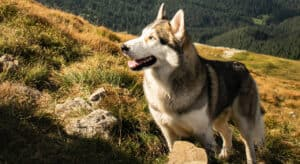 Photo of a Husky in the sunlight on the mountains