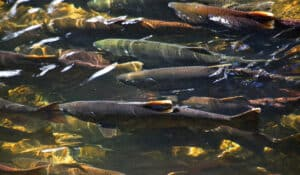 Photo just below the water of Pacific Salmon in a group together