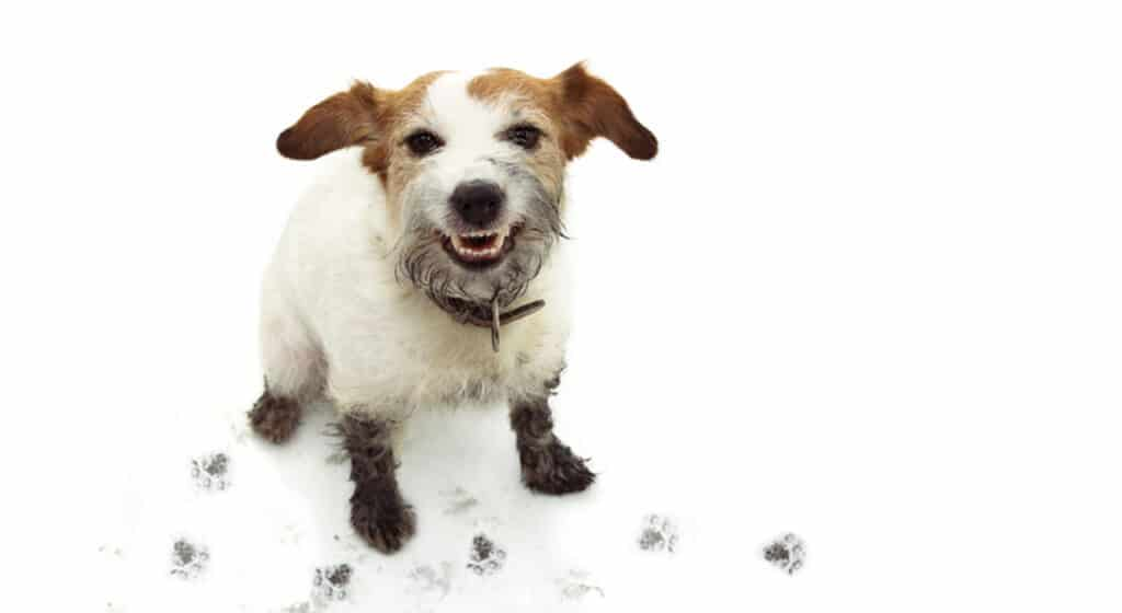 Photo of a dog with mucky paws looking at the canera with a cheeky grin. There are muddy paw prints on the floor too