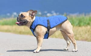 Photo of a Pug Dog standing wearing a dog cooling vest on a warm summer day with blue sky