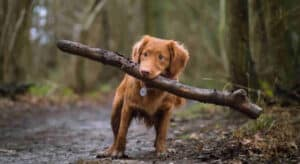 Dogs carrying sticks