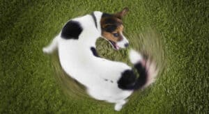 Why Do Dogs Chase Their Tale?