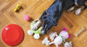 Photo of Dog chewing a toy with other toys scattered around him