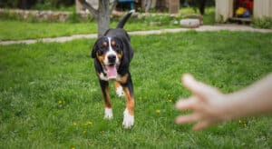 Photo of dog running to a waving hand. Teaching the dog training command sit stay come