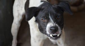 Photo of a Dog being aggressive by snarling with his front teeth showing
