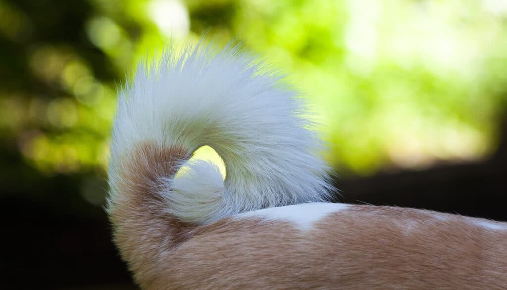 Photo of a dog's tail that is bushy and extends over the dog's back