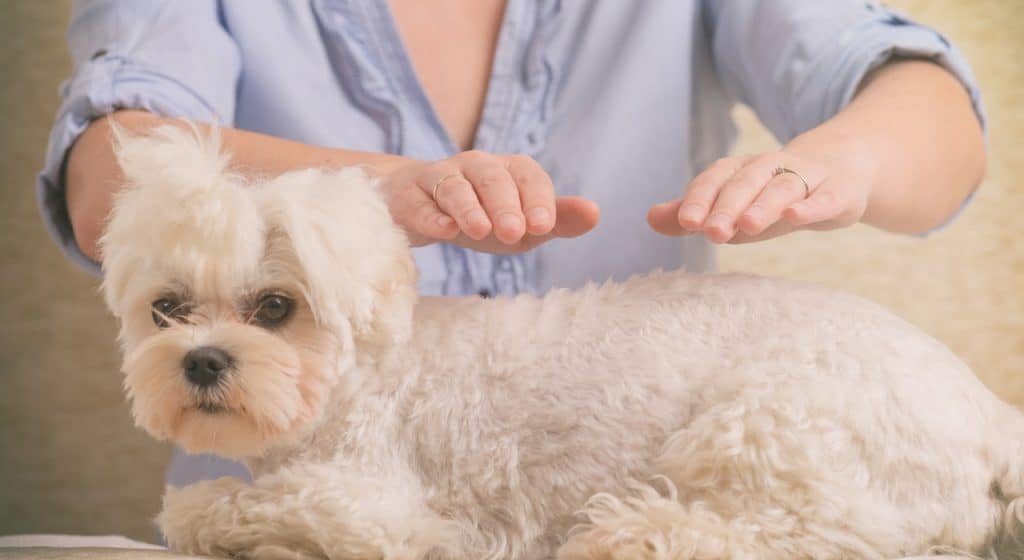 Small white dog with hands hovering above him performing Reiki