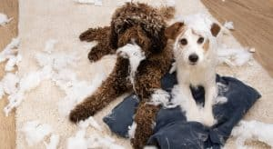 Photo of 2 dogs with Separation Anxiety issues after pulling apart a pillow