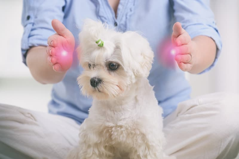 """Reiki being performed on small white dog with """"energy glowing"""" hands either side of the dog's head"""